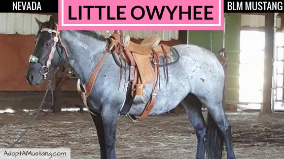 Blue Roan Little Owyhee Mare