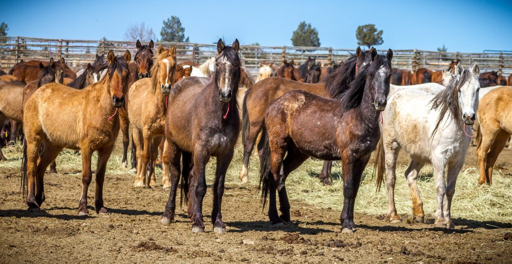 Group of Mustangs in Oregon BLM Facility | Photo by Greg Shine, BLM, April 7, 2016.